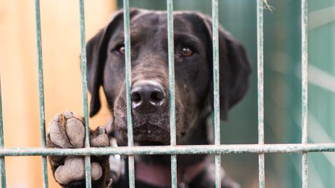 Ein brauner Hund hinter einem Gitter. Er hat sich am Gitter aufgestellt, mit seiner Pfote am Gitter.
