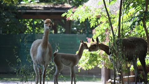 Am 23. August wurde im Zoo in Frankfurt ein Vikunja-Jungtier geboren.