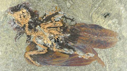Foto des gefundenen Vogelfossils in Großaufnahme. Auffällig ist, dass das Gefieder ungewöhnlich gut erhalten ist.