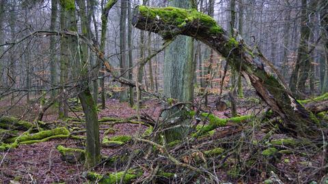 Mit Moos belegter Baum im Wald