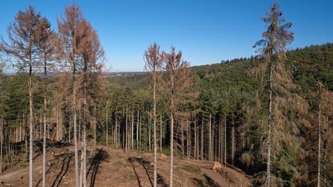 Vertrocknete Bäume im Wald