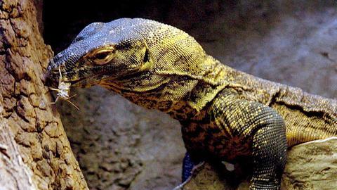 Komodo-Waran mit Futter im Maul
