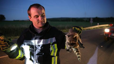 Ein Feuerwehrmann hält den geretteten Waschbär in der Hand