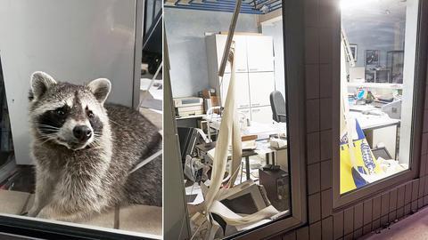 Die Bildkombination zeigt den Waschbären und die Büroräume eines Unternehmes, die er verwüstet hat.
