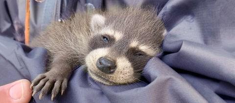 Foto eines Waschbär-Babys auf dem Arm der Finderin.