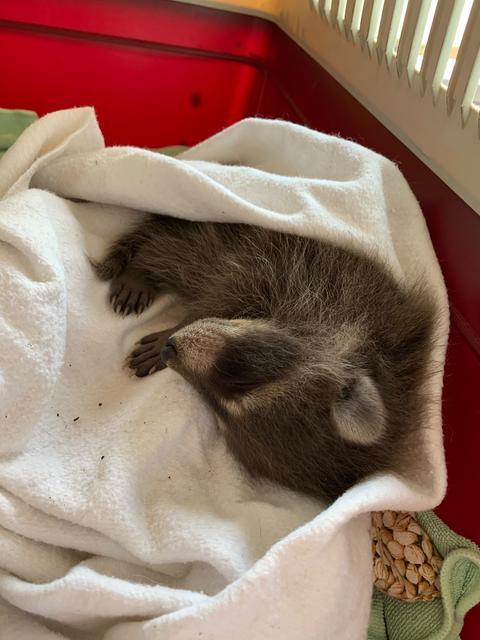 Der kleine Waschbär erholt sich auf einem Kirschkernkissen m Katzenkorb