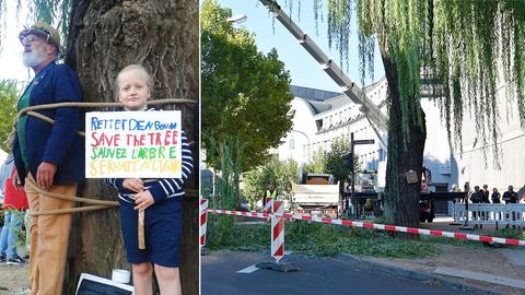 Bildkombination zur Fällung der alten Weide in Fulda: Grüne-Politiker Rammler und Kind binden sich aus Protest an Baum