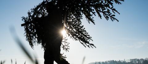 Ein Waldarbeiter trägt eine frisch geschlagene Nordmanntanne. (Archivbild)