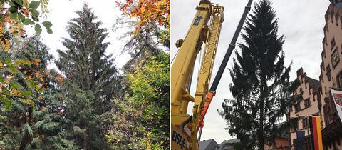 Der Frankfurter Weihnachtsbaum 2018 im Wald in Spessart und aufgestellt auf dem Römerberg