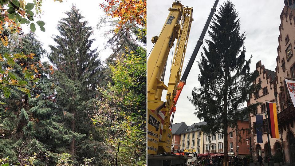 Weihnachtsbaum Frankfurt.Der Frankfurter Weihnachtsbaum Steht Wie Eine Eins Hessenschau De