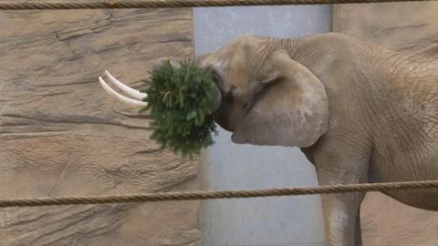 Weihnachtsbaum-Fütterung im Opel-Zoo