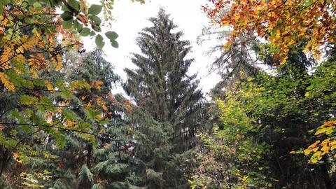 Noch steht er im Wald: Der Baum für den diesjährigen Frankfurter Weihnachtsmarkt