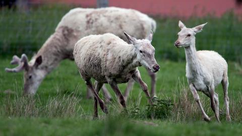 Weiße Rothirsche im Tierpark Sababurg