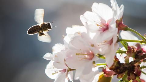 Biene im Anflug auf Kirschblüten