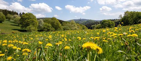 Blick über blühende Blumenwiesen mit Löwenzahn im Schmittener Ortsteil Seelenberg in Richtung Taunus-Hauptkamm mit dem Großen Feldberg bei blauem Himmel und Quellwolken