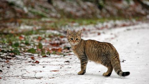 Eine junge Wildkatze streift durch ihr Revier im Taunus.