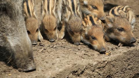 Wildschwein-Frischlinge und ihre Mutter im Wildtierpark Edersee.