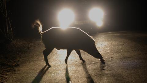 Wildschwein läuft vor ein Auto