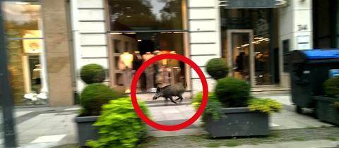 Wildschwein auf Wiesbadener Wilhelmstraße