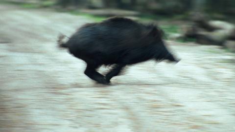 Ein rennendes Wildschwein.