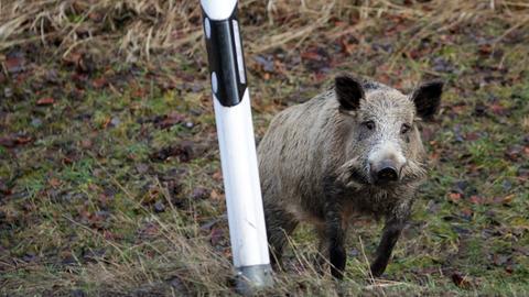 Wildschwein am Straßenrand