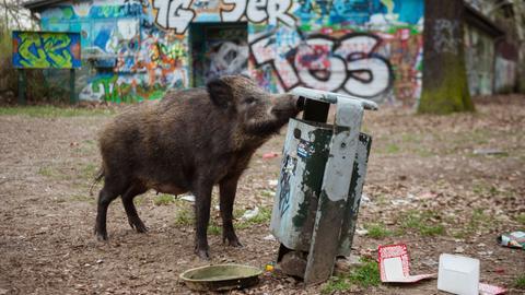 Wildschwein in der Stadt