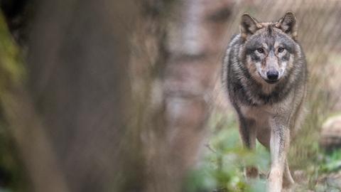 Ein Wolf läuft durch ein Freigehege im Wildpark Alte Fasanerie.