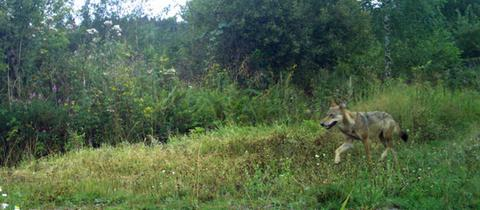 Wolf im Vogelsberg, aufgenommen im August 2019 mit einer Fotofalle