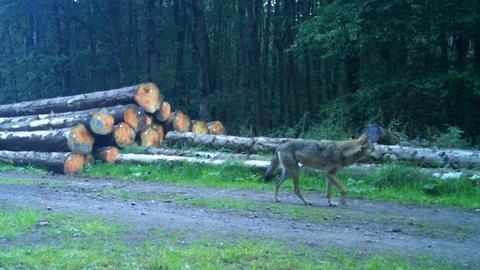 Ein Wolf läuft durch den Wald bei Stumpertenrod (Vogelsberg), aufgenommen mit einer Fotofalle.