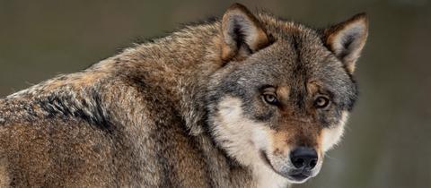 Der Kopf eines Wolfes
