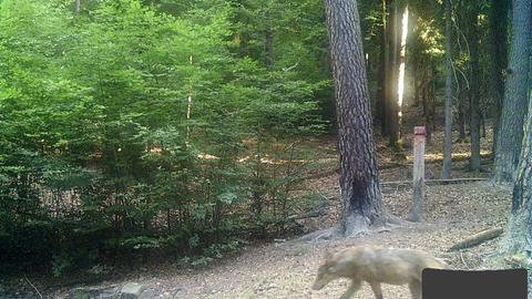 Wolf in der Rhön