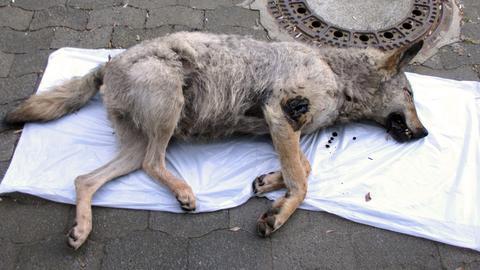wolf-vermeintlicher-tot