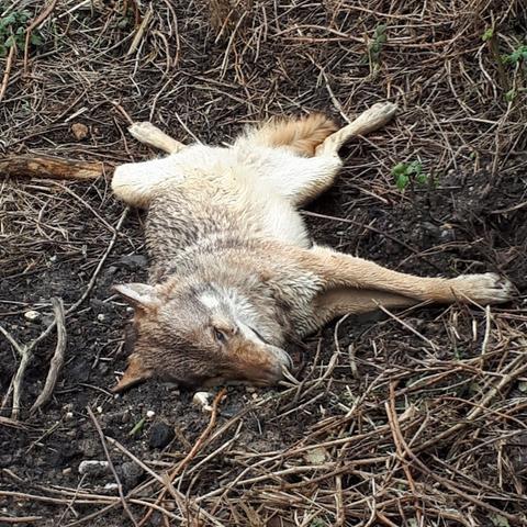 Bahnmitarbeiter findet toten Wolf in Wiesbaden