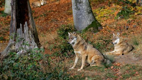 Wolfspaar in einem Wald