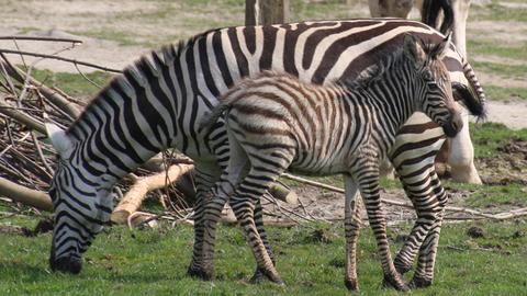 Zebrafohlen Opel-Zoo