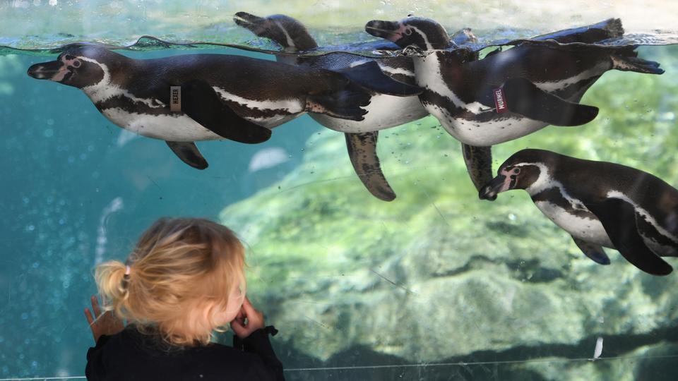Die kleine Paula am Mittwoch im wieder eröffneten Frankfurter Zoo vor einer Glasscheibe der Pinguin-Anlage.