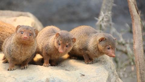 Nachwuchs bei den Zwergmangusten - drei Jungtiere schauen neugierig in die Welt.