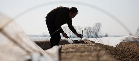 Spargelstechen in Weiterstadt: Im sandigen Ried wächst das Gemüse besonders gut