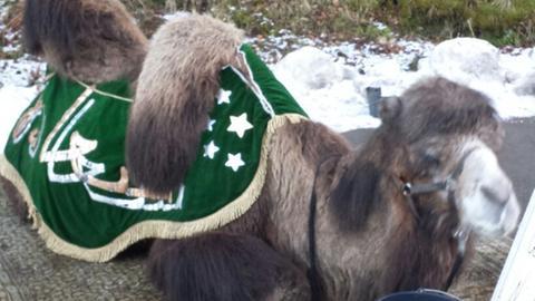 Ein Kamel in Willingen