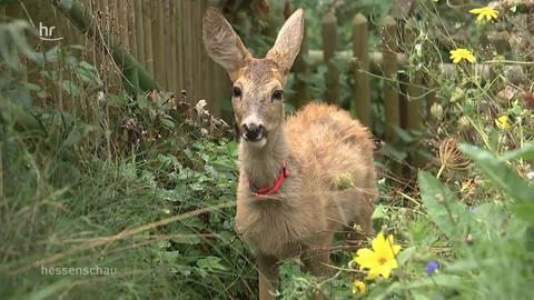 Bambi in Nieste