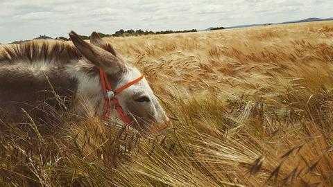 Ein Esel steht in einem Kornfeld.