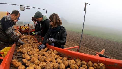 hessenschau-Reporterin Sarah Plass sortiert Kartoffeln mit dem Team aus
