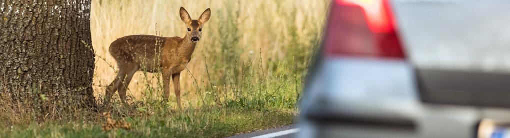 Achtung, Wild! Ein Rehkitz will über eine Landstraße wechseln.