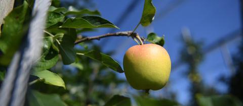 Unreifer Apfel an einem Baum