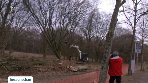 bäume müssen der lichtwiesenbahn weichen