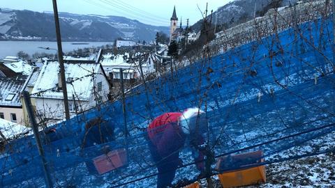 Eisweinlese Rheingau