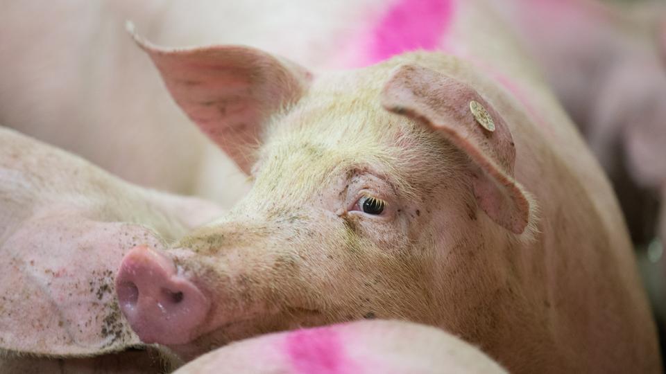 Markiertes Schwein im Stall