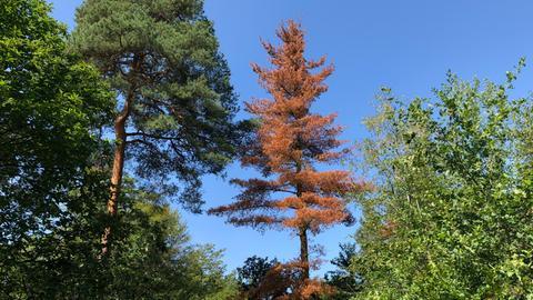 Abgestorbener Baum im Frankfurter Stadtwald