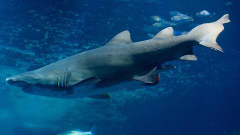 Ein Hai im Aquarium.