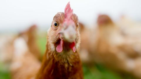 ein Huhn steht auf einem Feld